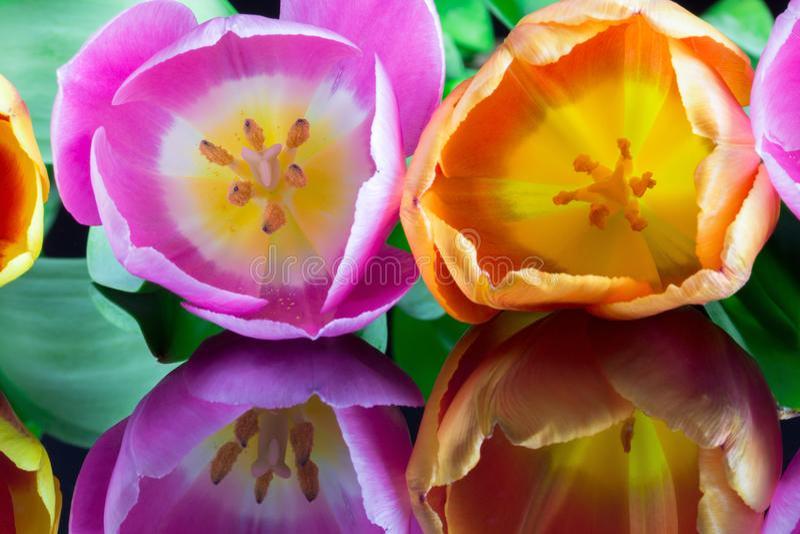 Piękni multicolor tulipany 1 fotografia royalty free
