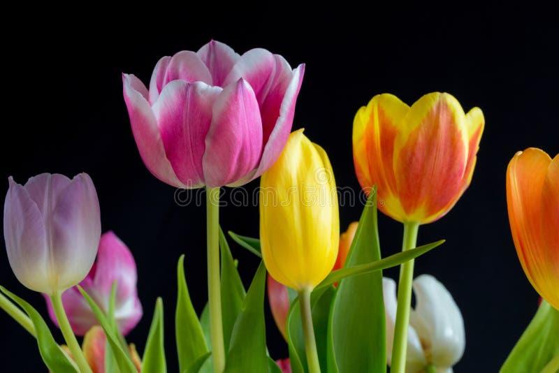 Piękni multicolor tulipany na czarnym tle 2 obraz royalty free