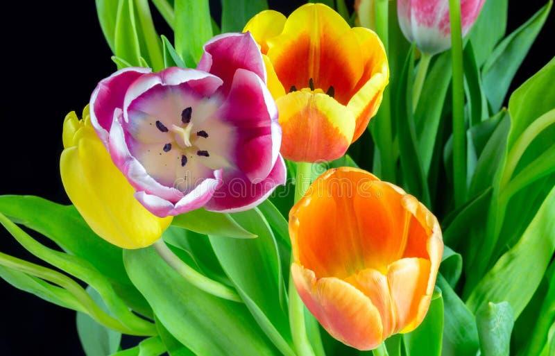 Piękni multicolor tulipany na czarnym tle 9 zdjęcia stock