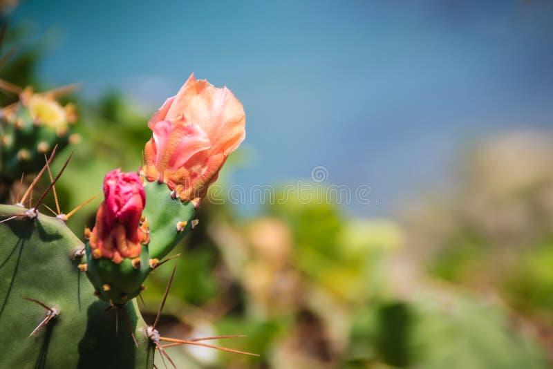 Piękni Opuntia cochenillifera okulizowania kwiaty Opuntia cochen zdjęcia royalty free