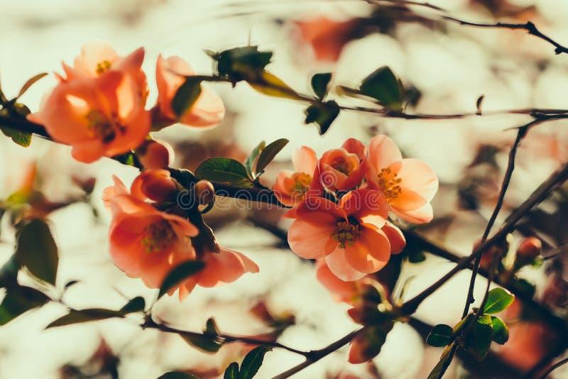 Piękni pigwa kwiaty fotografia stock