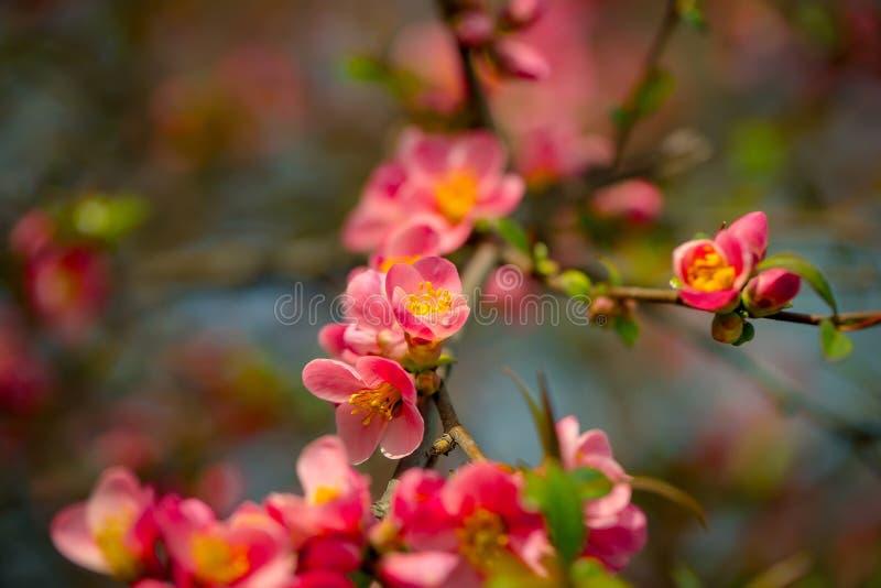 Piękni pigwa kwiaty fotografia royalty free