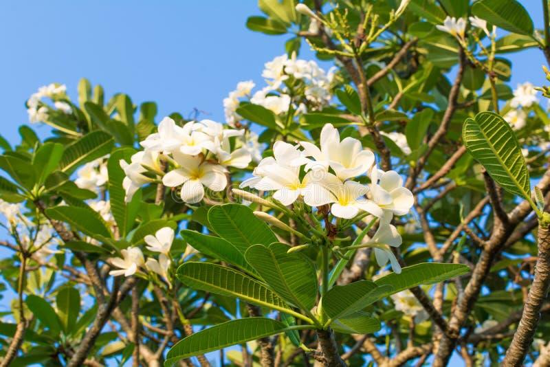 Piękni plumeria kwiaty zdjęcia royalty free