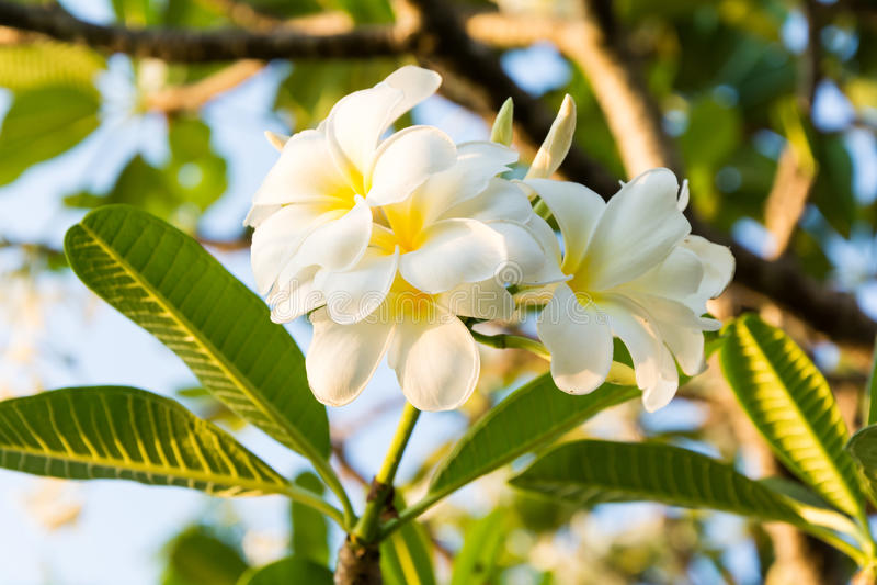 Piękni plumeria kwiaty zdjęcie royalty free