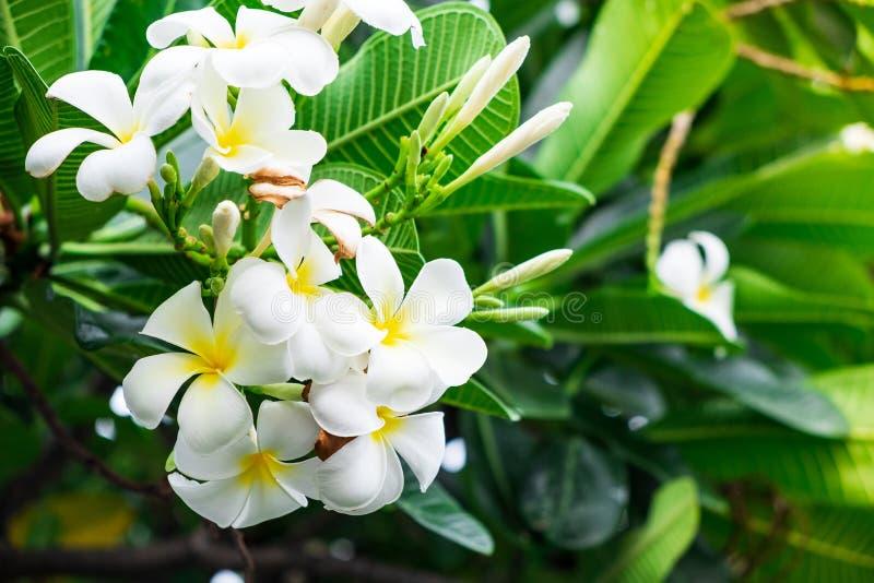 Piękni plumeria kwiaty z mieszanką barwią obrazy royalty free