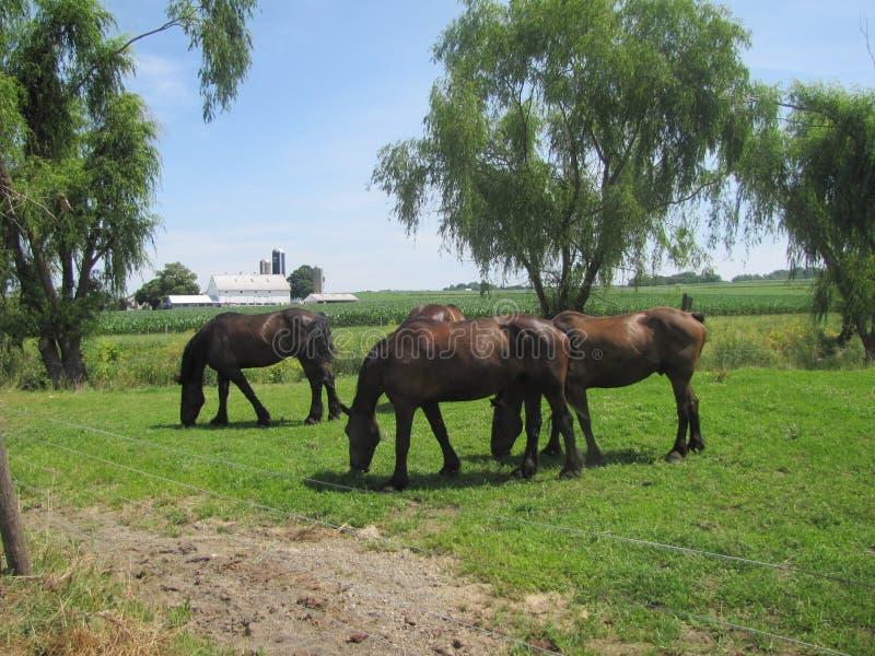 Piękni praca konie dla Amish w Pennsylwania zdjęcia royalty free