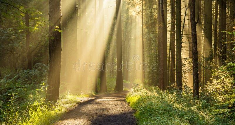 Piękni promienie światło W lesie zdjęcie stock