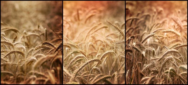Piękni pszeniczni pola, pomyślny bogaty żniwo obraz royalty free