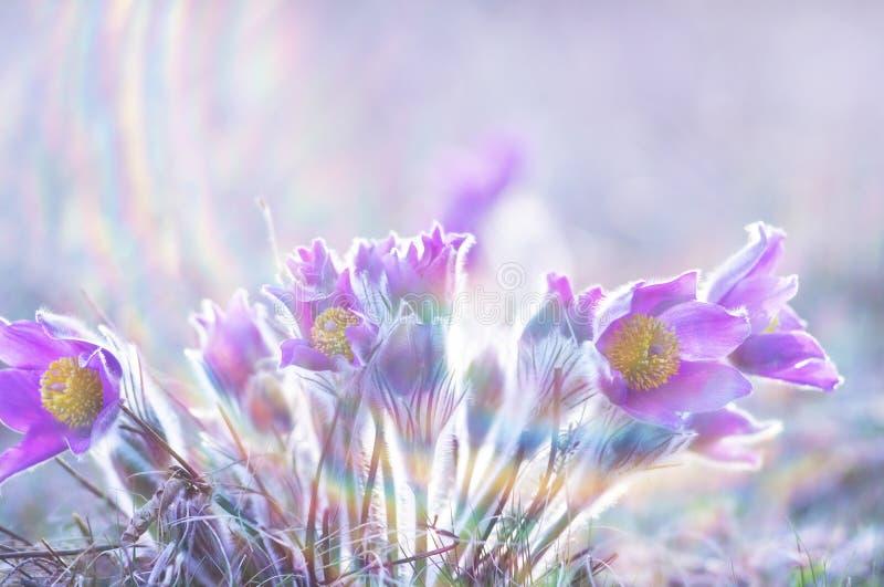 Piękni Pulsatilla kwiaty zdjęcia stock