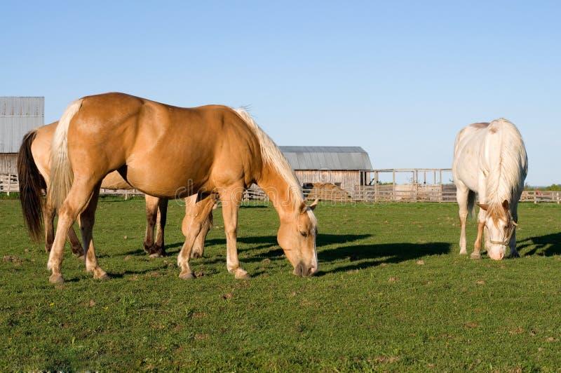 Piękni Purebread konie Je trawy w polu zdjęcie stock