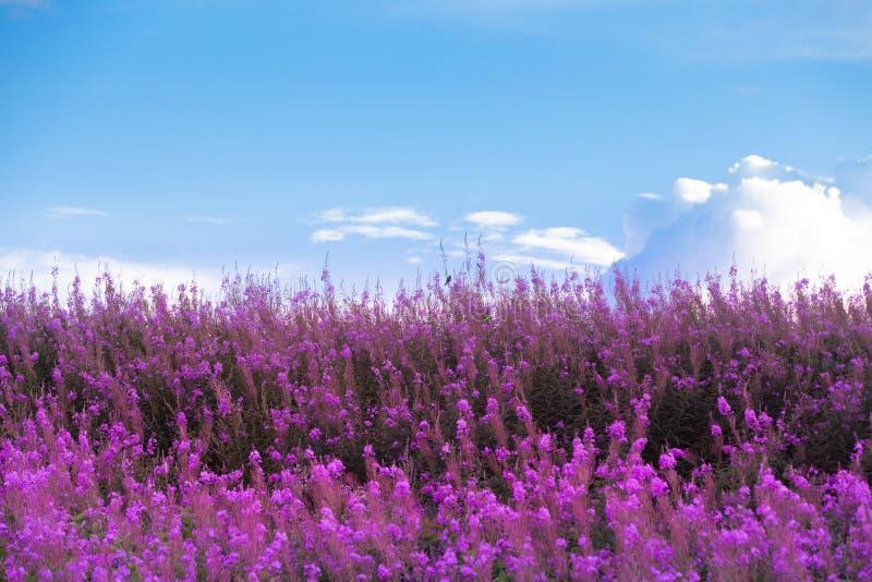 Piękni purpura kwiaty, niebieskie niebo i obrazy royalty free