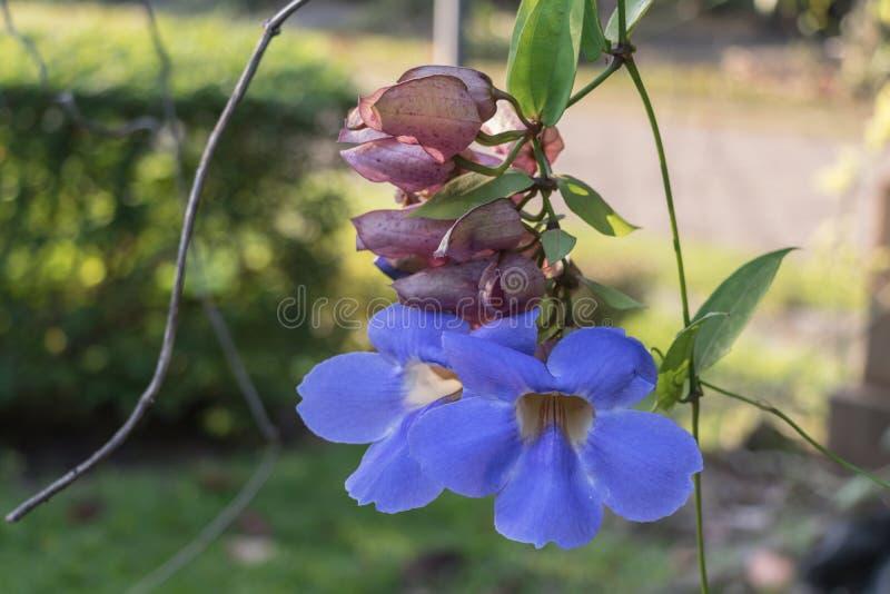 Piękni purpurowi Bengalia Tubowi kwiaty, Thunbergia grandiflora w ogródzie lub zdjęcie stock