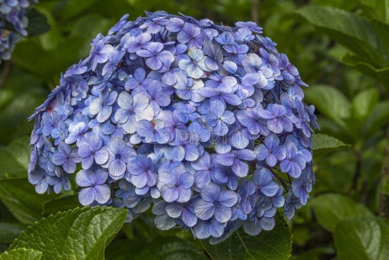 Piękni purpurowi hortensji macrophylla kwiaty zdjęcia stock