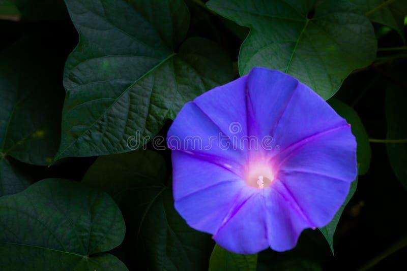 Piękni purpurowi kwiaty stoją za naturalnej ciemności w ogródzie w zdjęcie stock