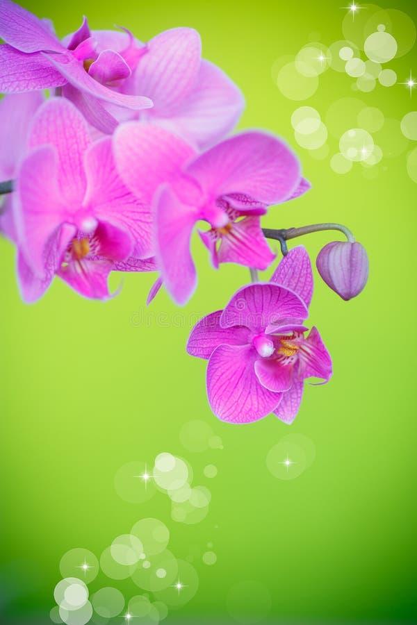 Piękni purpurowi phalaenopsis kwiaty obraz royalty free