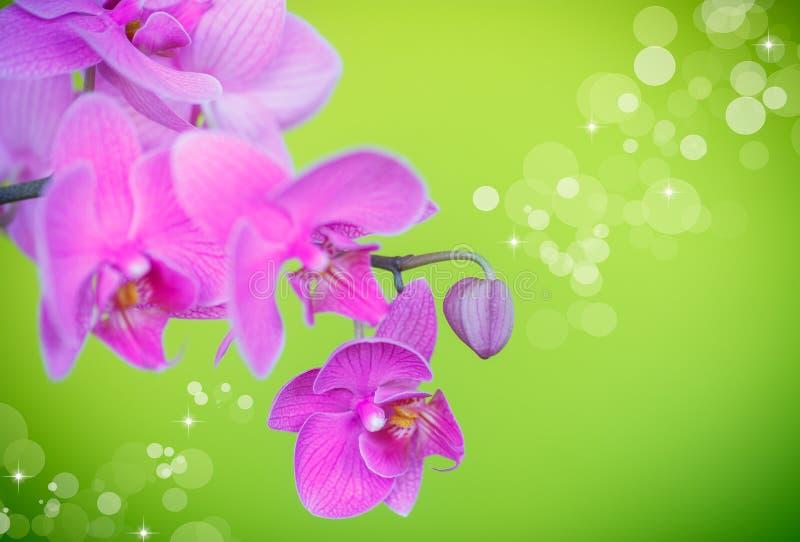 Piękni purpurowi phalaenopsis kwiaty obrazy stock