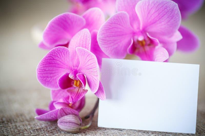 Piękni purpurowi phalaenopsis kwiaty obrazy royalty free