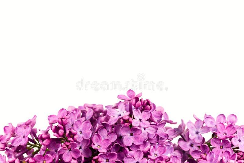 Piękni purpurowi syringa bzu okwitnięcia odizolowywający obraz royalty free