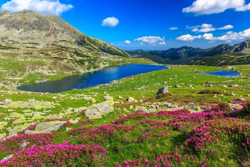 Piękni różaneczników kwiaty i Bucura halni jeziora, Retezat góry, Rumunia fotografia stock