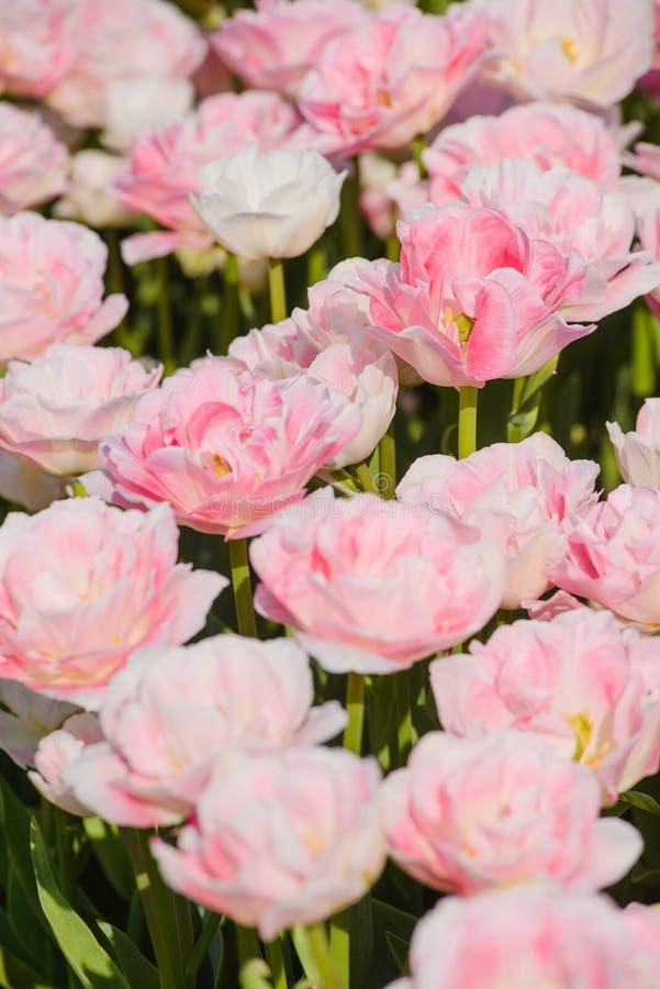 Piękni Różani tulipany w wiośnie fotografia royalty free