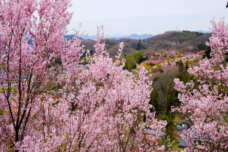 Piękni różowi czereśniowi okwitnięcia na wzgórzu, Hanamiyama park, Fukushima, Tohoku, Japonia zdjęcie royalty free