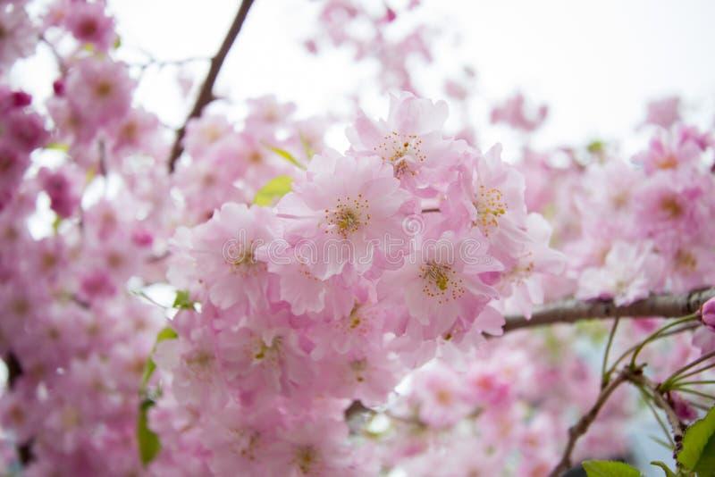 Piękni różowi czereśniowi okwitnięcia przy Sumida parkiem, Taito-ku, Tokio, Japonia w wiośnie fotografia royalty free