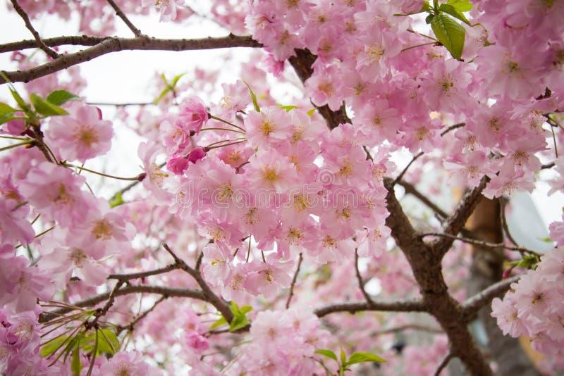 Piękni różowi czereśniowi okwitnięcia przy Sumida parkiem, Taito-ku, Tokio, Japonia w wiośnie obrazy stock