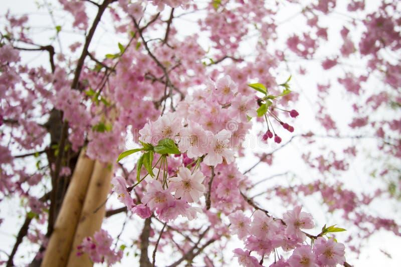 Piękni różowi czereśniowi okwitnięcia przy Sumida parkiem, Taito-ku, Tokio, Japonia w wiośnie zdjęcie royalty free