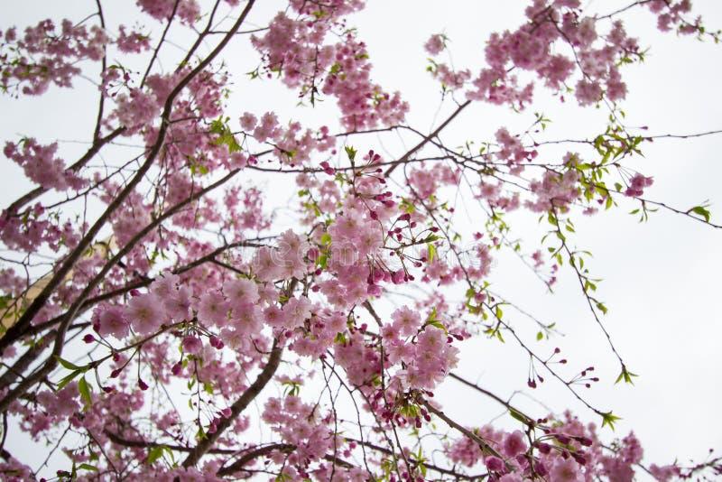 Piękni różowi czereśniowi okwitnięcia przy Sumida parkiem, Taito-ku, Tokio, Japonia w wiośnie zdjęcie stock