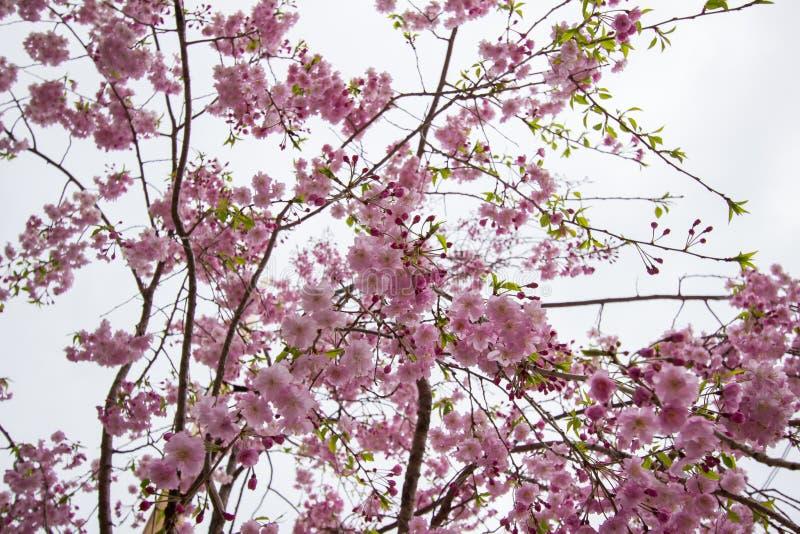 Piękni różowi czereśniowi okwitnięcia przy Sumida parkiem, Taito-ku, Tokio, Japonia w wiośnie fotografia stock