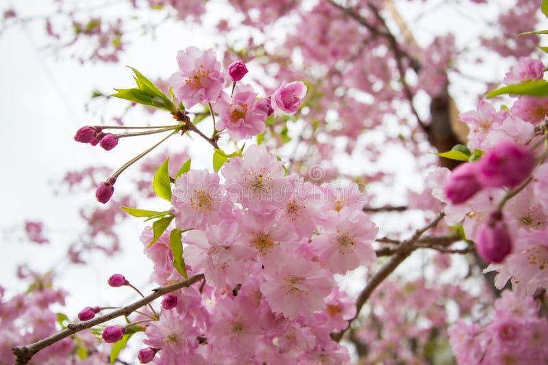 Piękni różowi czereśniowi okwitnięcia przy Sumida parkiem, Taito-ku, Tokio, Japonia w wiośnie obraz stock
