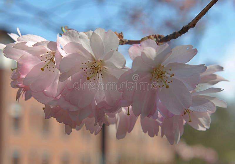 Piękni różowi czereśniowi okwitnięcia w wiośnie fotografia stock