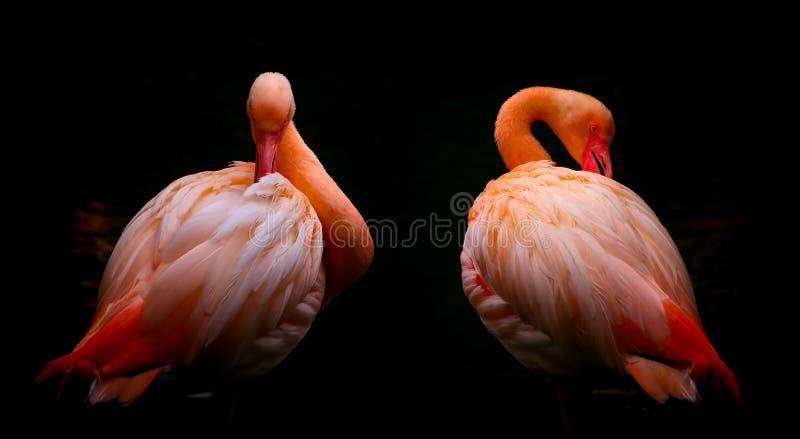 Piękni różowi flamingów ptaki przycina ich piórka zdjęcia royalty free