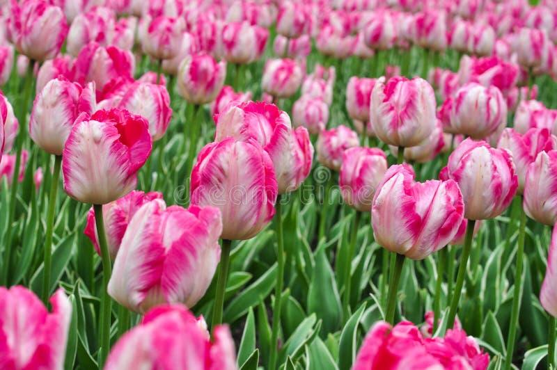 Piękni różowi i biali tulipany Różowi tulipany w ogródzie obrazy stock