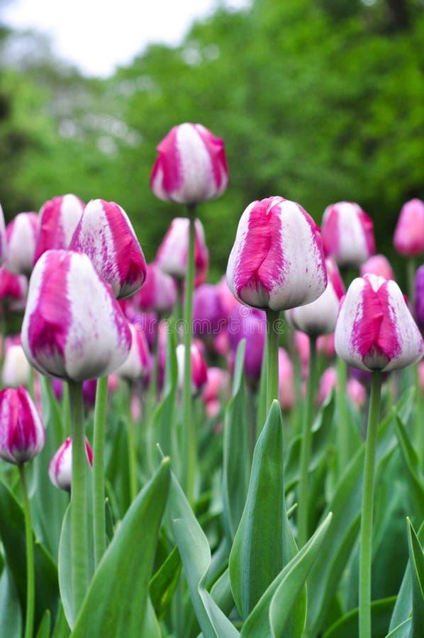 Piękni różowi i biali tulipany Różowi tulipany w ogródzie zdjęcie stock