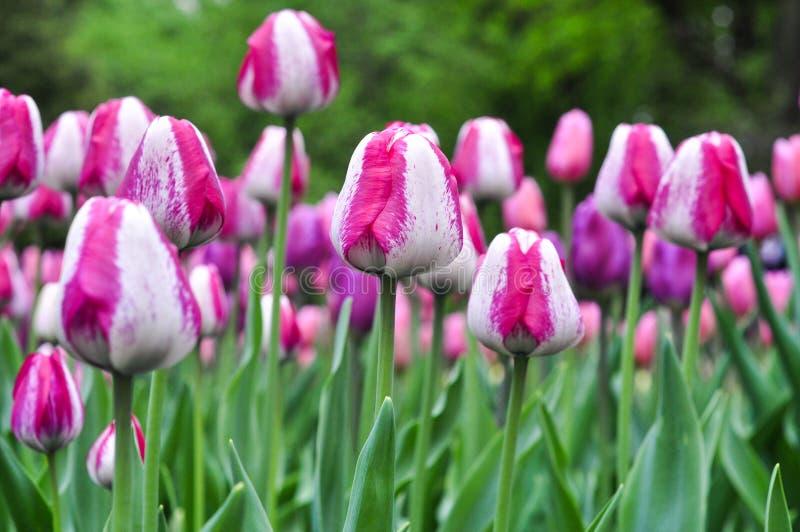 Piękni różowi i biali tulipany Różowi tulipany w ogródzie obraz royalty free