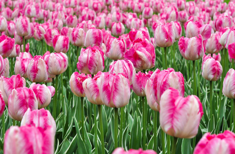 Piękni różowi i biali tulipany Różowi tulipany w ogródzie obrazy royalty free