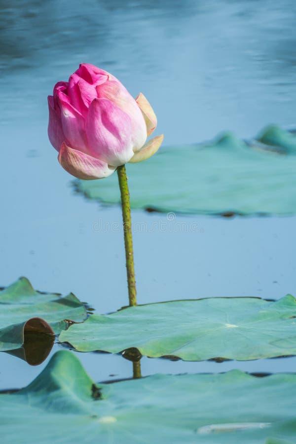 Piękni różowi lotosowego kwiatu zieleni i kwitnienia liście przy stawem zdjęcie stock