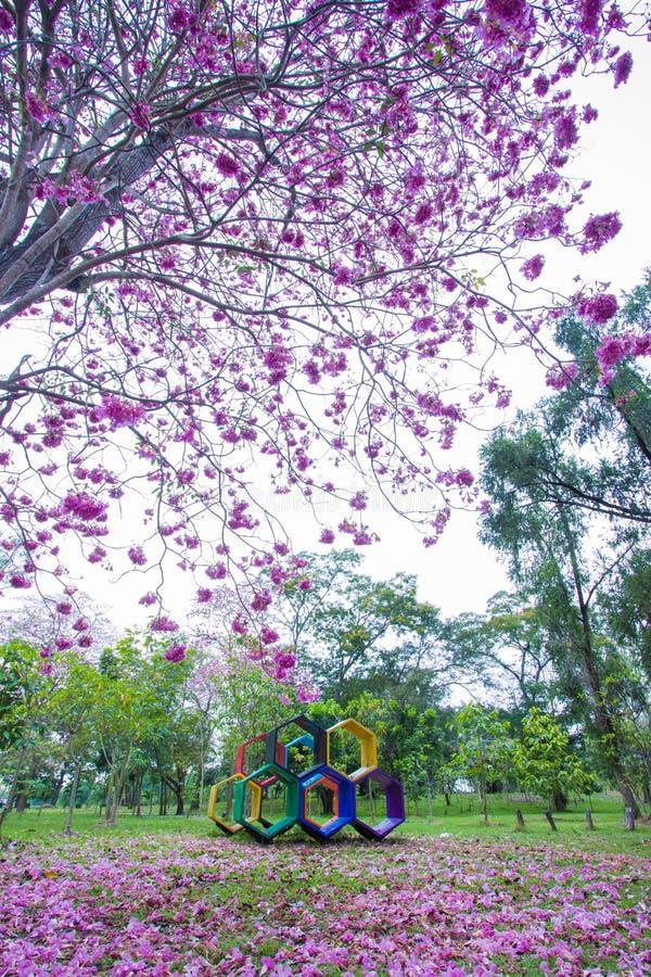 Piękni różowi Różowi Tubowi drzewa i kwiaty przy boiskiem, Phutthamonthon jawny park, Nakhon Pathom prowincja, Tajlandia fotografia royalty free