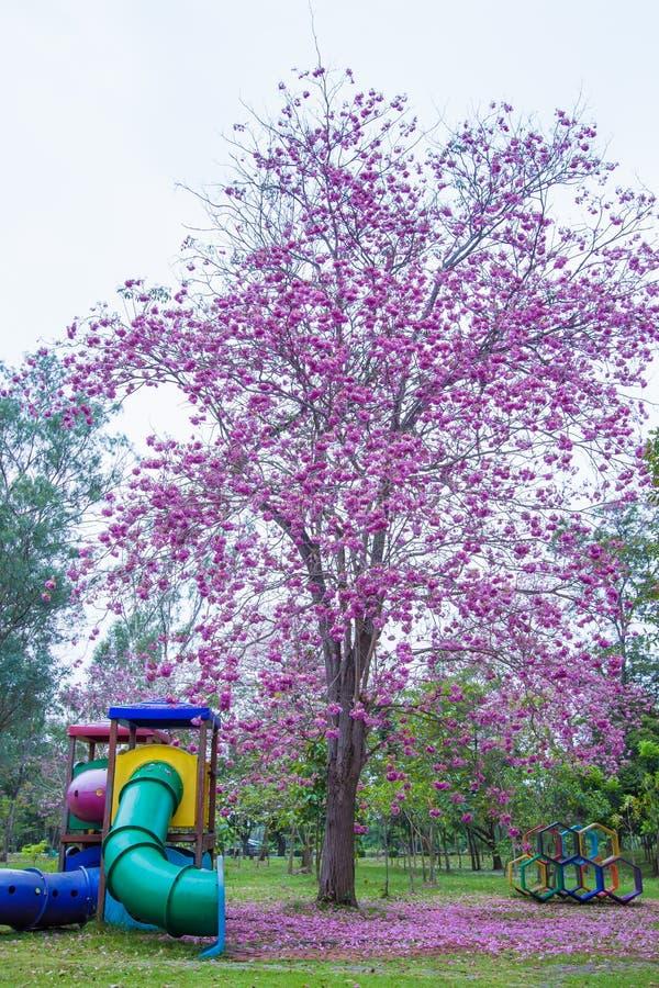 Piękni różowi Różowi Tubowi drzewa i kwiaty przy boiskiem, Phutthamonthon jawny park, Nakhon Pathom prowincja, Tajlandia obraz royalty free