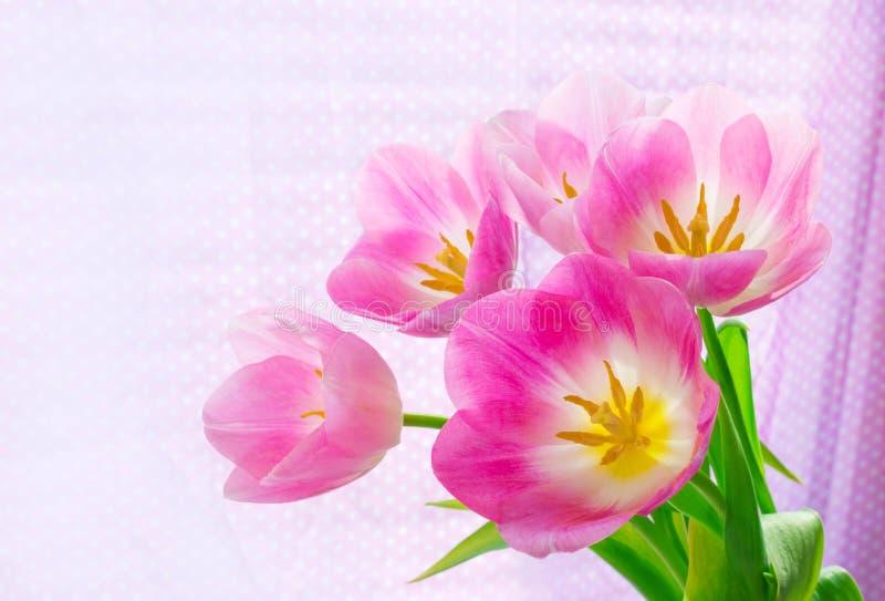Piękni różowi tulipany, jaskrawy zaświecający światłem słonecznym na lekkim tle Odbitkowa przestrze? na lewicie zdjęcia royalty free