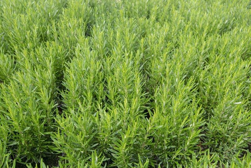 Piękni rozmarynowi ziele folująca rama zdjęcie royalty free