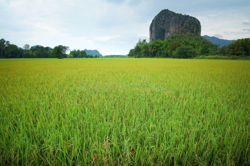 Piękni Ryżowi pola zieleń z górą fotografia royalty free