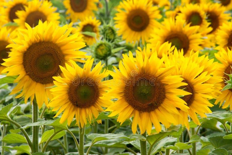 Piękni słoneczniki w lecie obraz royalty free