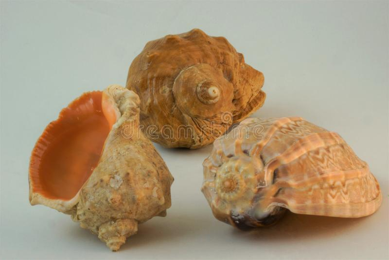 piękni seashells projekt twórczość fotografia stock
