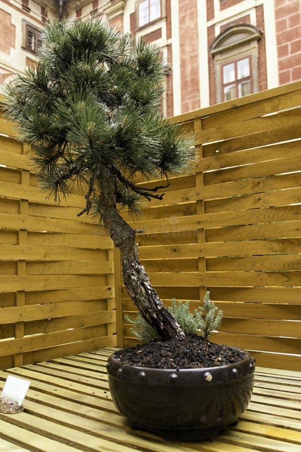 Piękni starzy bonsai zdjęcia royalty free