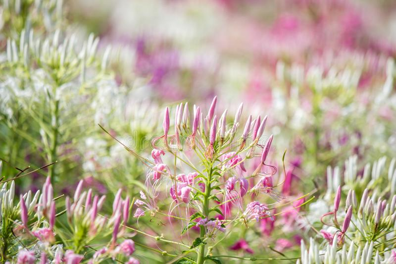 Piękni stubarwni Cleome hasslerianaSpider kwiaty lub różowa królowa fotografia royalty free