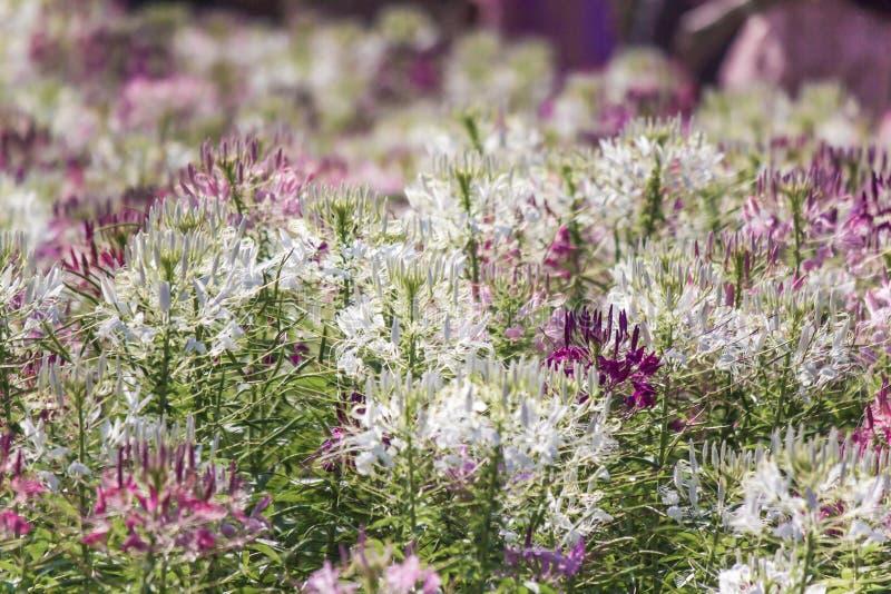 Piękni stubarwni Cleome hasslerianaSpider kwiaty lub różowa królowa obraz royalty free