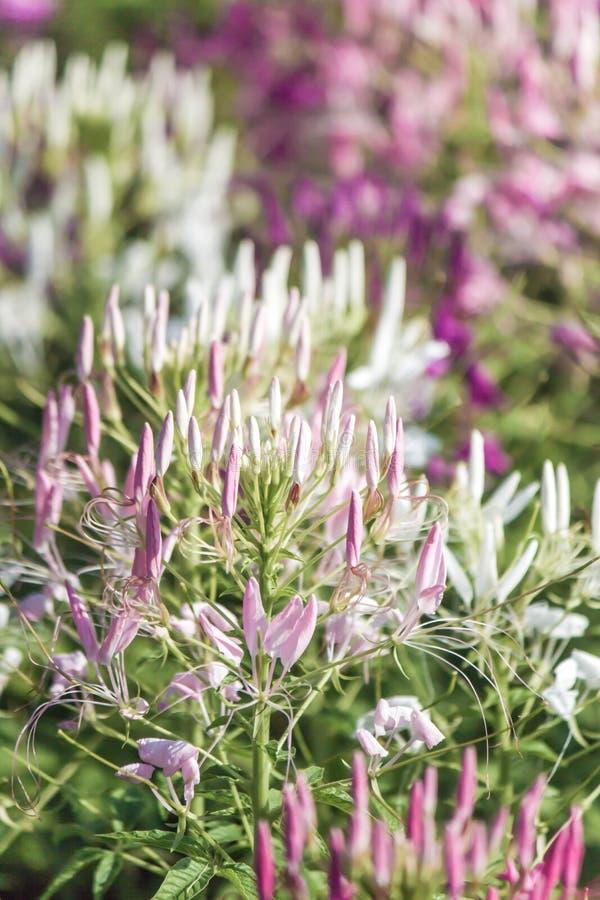 Piękni stubarwni Cleome hasslerianaSpider kwiaty lub różowa królowa obrazy royalty free