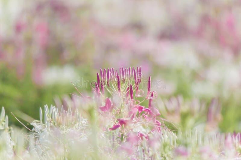 Piękni stubarwni Cleome hasslerianaSpider kwiaty lub różowa królowa zdjęcie stock
